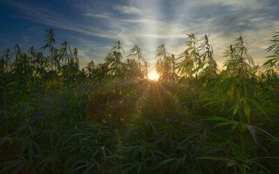Terpenes & Cannabinoids
